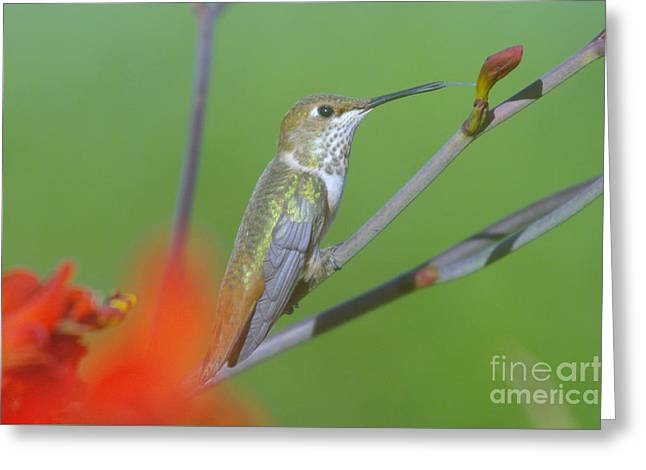The Tongue Of A Humming Bird  Greeting Card