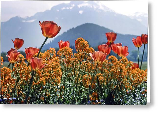 The Tulips In Bloom Greeting Card