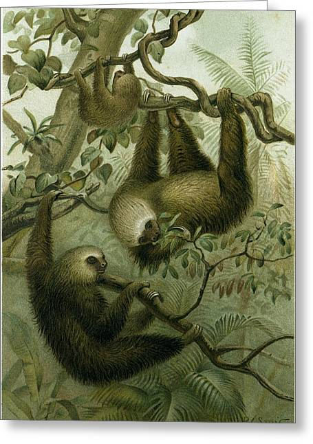 The Two-toed Sloth Greeting Card by English School