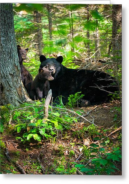The Ultimate Single Mother Black Bear Sow And Cubs Greeting Card