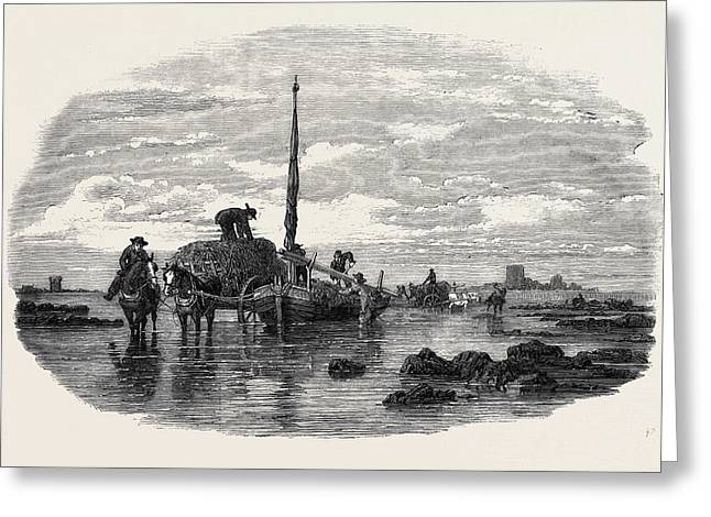 The Vraic Or Seaweed Harvest Guernsey Carting The Vraic Greeting Card