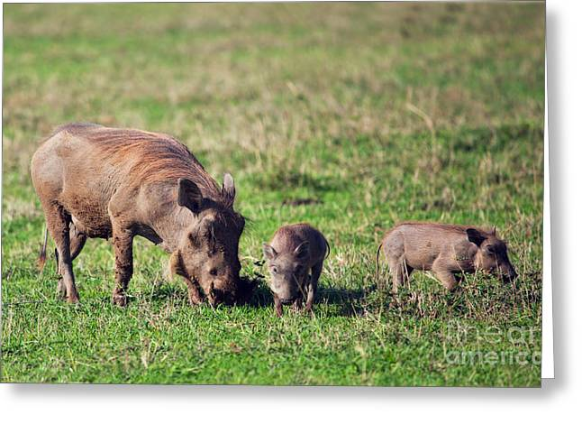 The Warthog Family On Savannah In The Ngorongoro Crater. Tanzania Greeting Card by Michal Bednarek