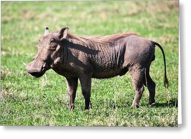 The Warthog On Savannah In The Ngorongoro Crater. Tanzania Greeting Card by Michal Bednarek