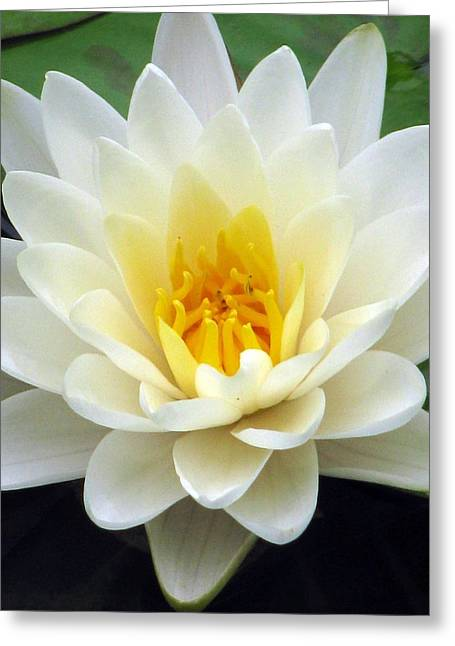 Greeting Card featuring the photograph The Water Lilies Collection - 03 by Pamela Critchlow