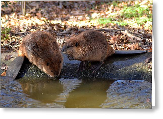 The Whispering Beaver Greeting Card by Eva Thomas