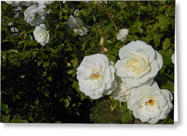 The White Rose Is A Dove Greeting Card