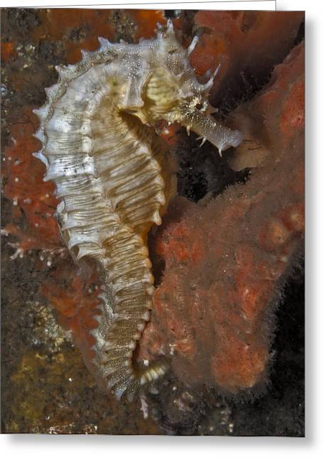The White Seahorse Greeting Card