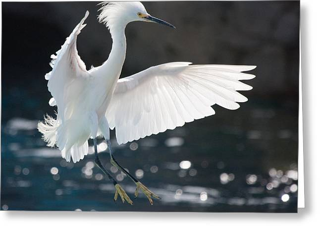 The White Winged Wonder Greeting Card