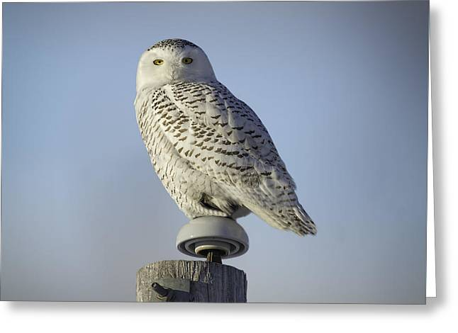 The Wise Snowy Owl Greeting Card by Thomas Young