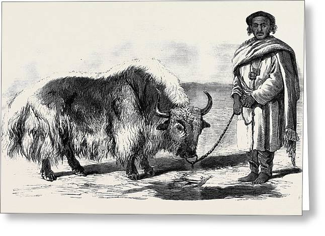 The Yak Or Thibet Ox From A Drawing By W Greeting Card