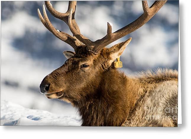 The Yellowstone Elk # 10 Greeting Card