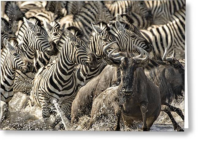 The Zebra Rush Greeting Card by Paul W Sharpe Aka Wizard of Wonders