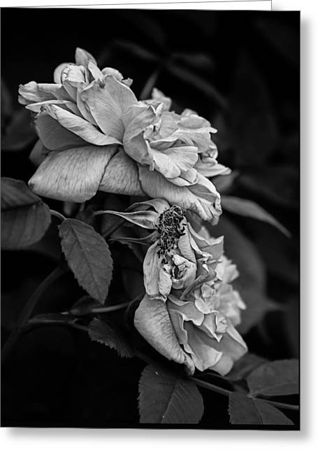 Therese Bugnet Rose II Greeting Card