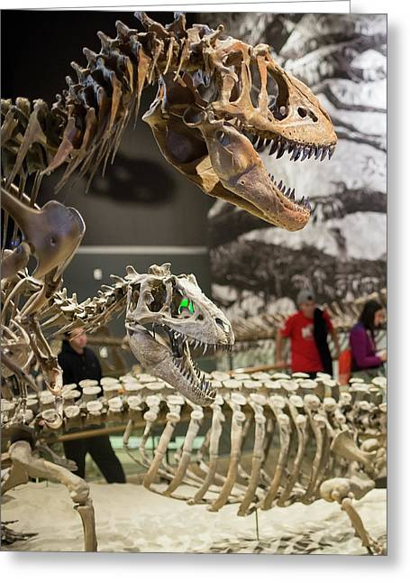 Theropod Dinosaur Fossils Display Greeting Card by Jim West