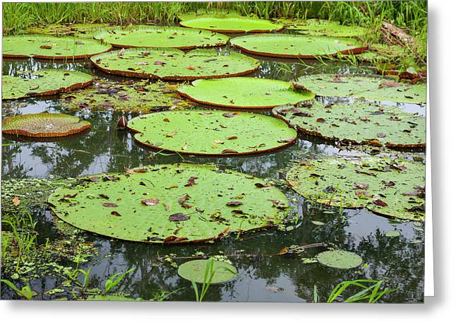 These Giant Water Lilies, Up To 8 Feet Greeting Card