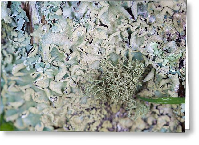 These Lichen Are Likin This Tree IIi Greeting Card by Jennifer Stinson