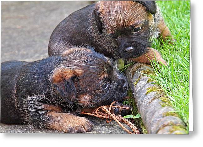 They Can Still See You - Border Terrier Puppies Greeting Card by Gill Billington
