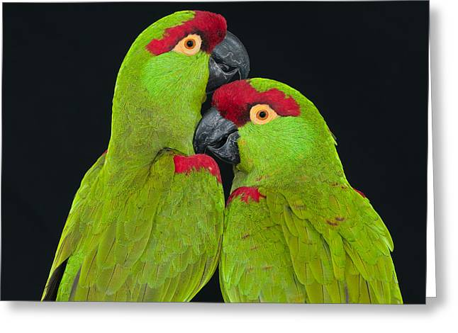 Thick-billed Parrot Pair Greeting Card