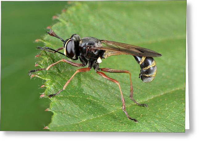 Thick-headed Fly Greeting Card by Nigel Downer