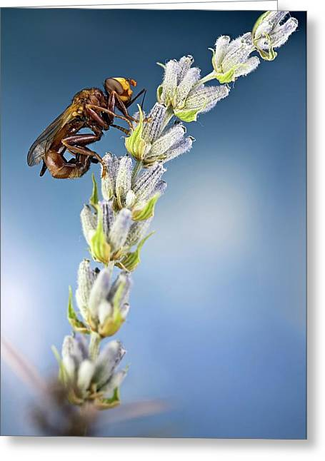 Thick-headed Fly On A Flower Greeting Card by Nicolas Reusens