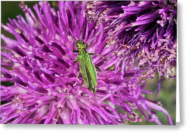 Thick-legged Flower Beetle On Knapweed Greeting Card