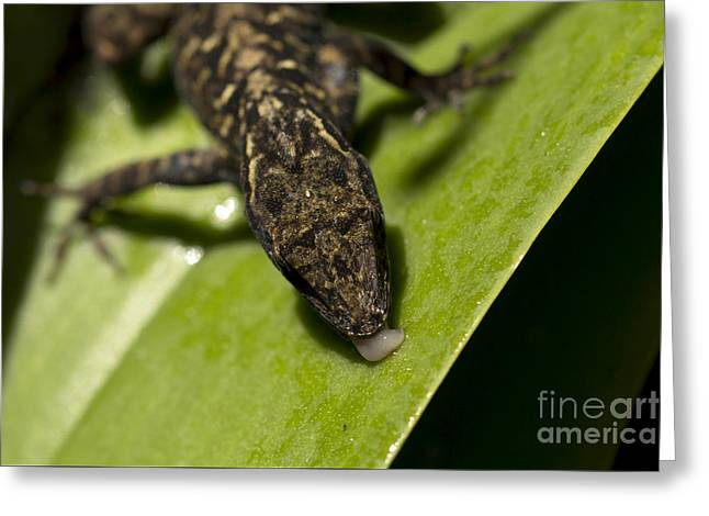 Greeting Card featuring the photograph Thirsty Brown Anole by Meg Rousher