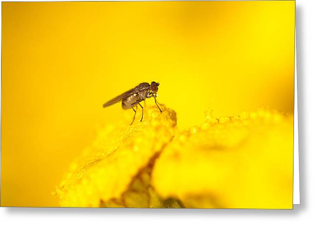 Thirsty Fly Greeting Card by Sarah Crites