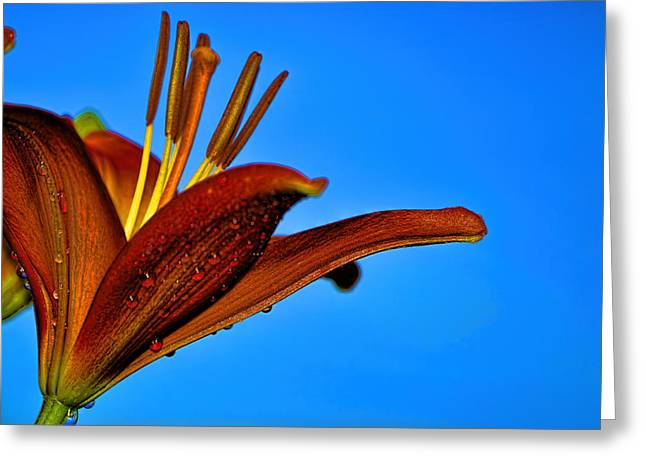 Thirsty Lily In Hdr Art  Greeting Card