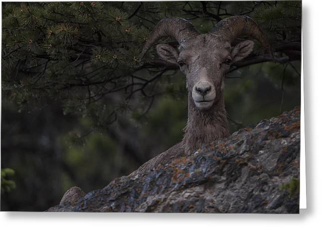 This Is Alberta No.28 - Mountain Sheep Taking Cover Greeting Card