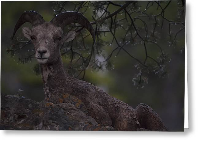 This Is Alberta No.29 - Mountain Sheep Taking Cover 2 Greeting Card