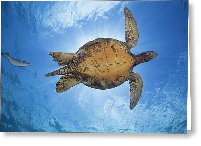 This Male Green Sea Turtle  Chelonia Greeting Card by Dave Fleetham