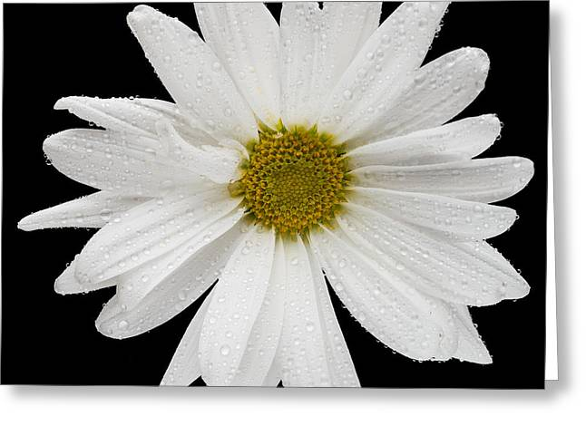This White Daisy Greeting Card