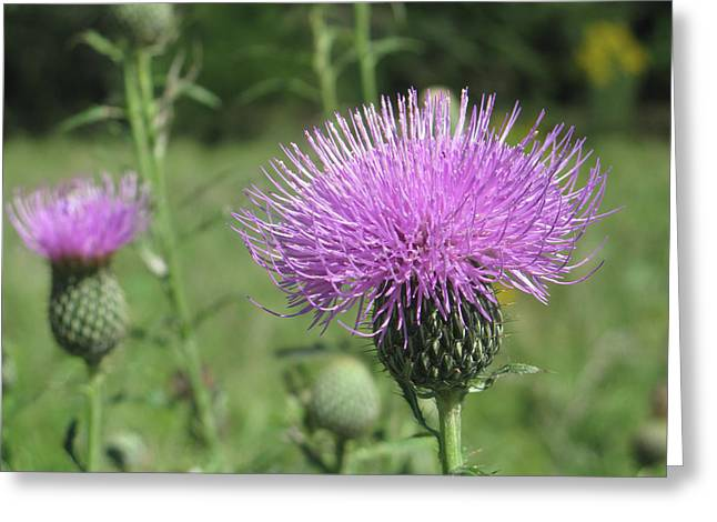 Thistle Greeting Card by Jill Bell
