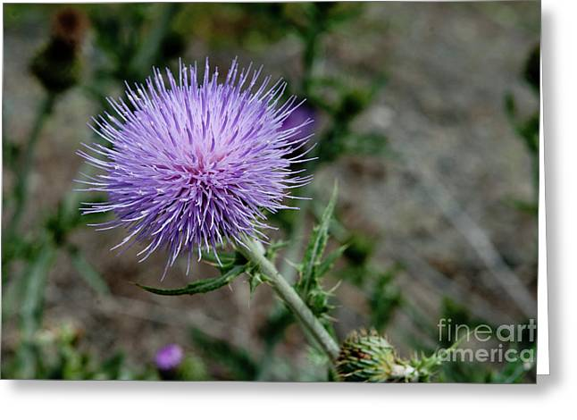Greeting Card featuring the photograph Thistle by Rod Wiens