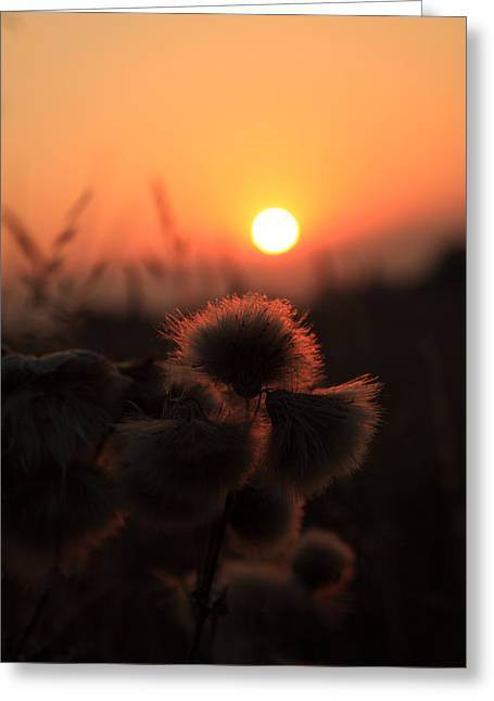 Thistles At Sunset Greeting Card by Paul Lilley
