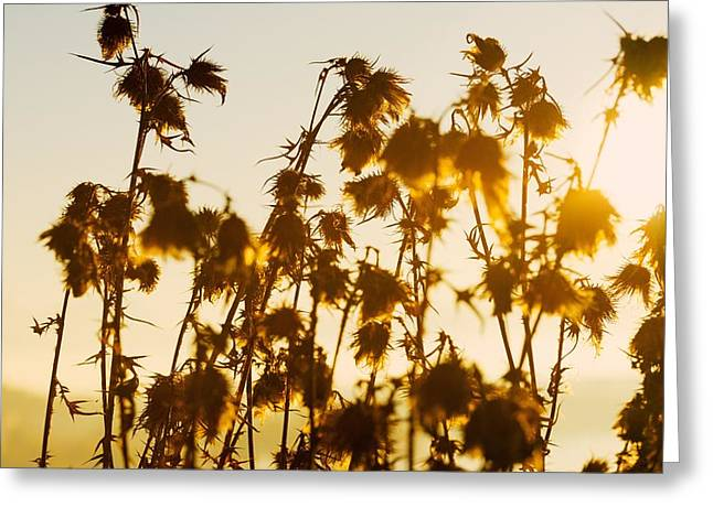 Thistles In The Sunset Greeting Card by Chevy Fleet