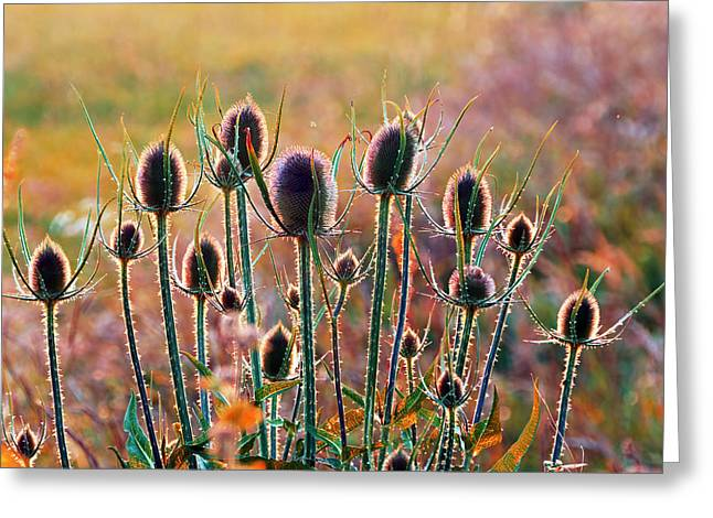 Thistles With Sunset Light Greeting Card