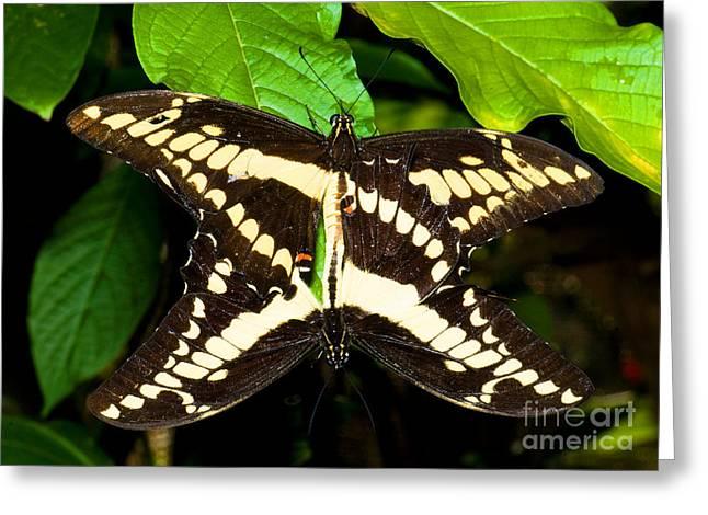 Thoas Swallowtail Butterflies Mating Greeting Card by Millard H. Sharp