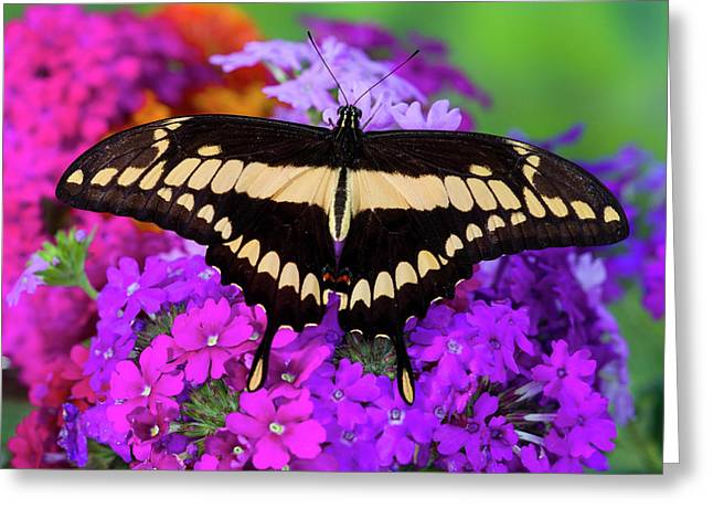 Thoas Swallowtail Butterfly, Papilo Greeting Card by Darrell Gulin