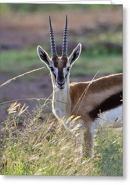 Thomson's Gazelle (gazella Thomsoni Greeting Card by Keren Su