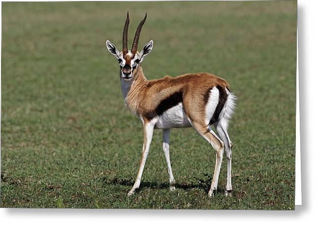 Thomson's Gazelle, Maasai Mara, Kenya Greeting Card by Adam Jones