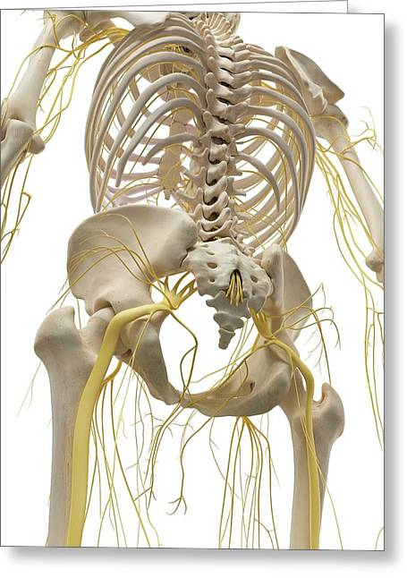 Thoracic Bones And Nerves Greeting Card by Sciepro