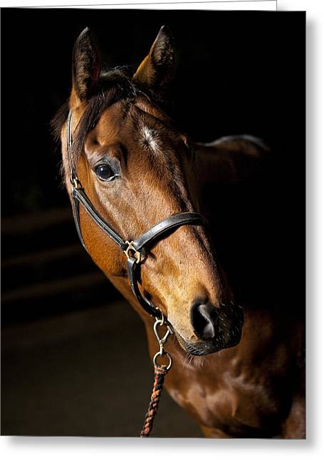 Thoroughbred Race Horse Greeting Card by Samuel Whitton