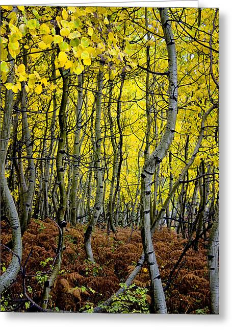 Greeting Card featuring the photograph Through The Aspen Forest by Ellen Heaverlo