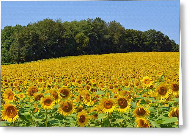 Thousands Of Sunflowers Greeting Card