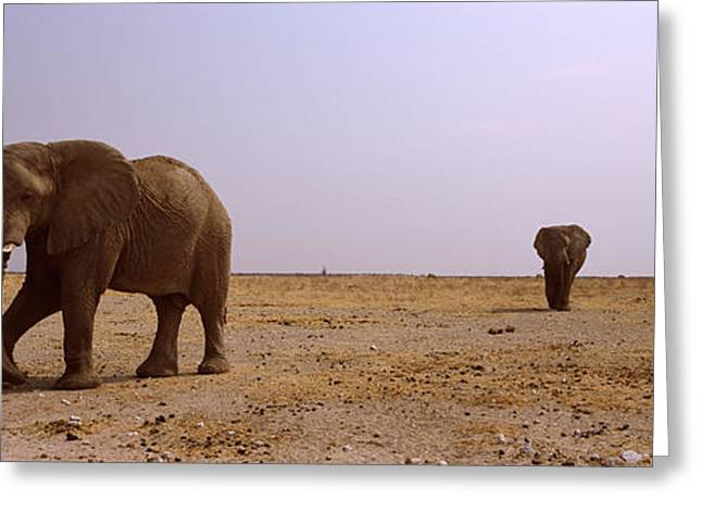Three African Elephants Loxodonta Greeting Card by Panoramic Images