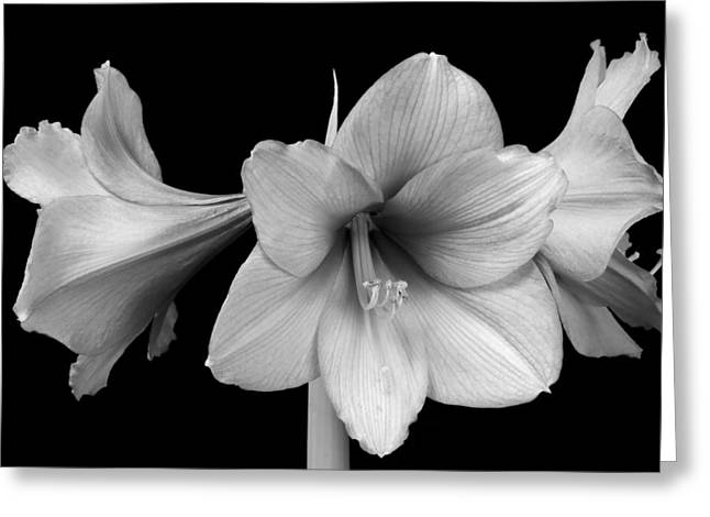 Three Amaryllis Flowers In Black And White Greeting Card