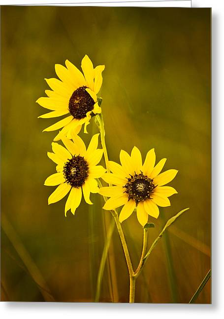 Greeting Card featuring the photograph A Trio Of Black Eyed Susans by Gary Slawsky