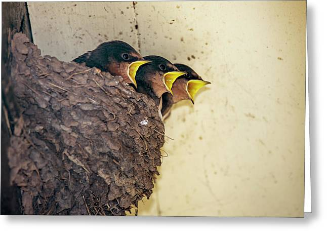 Three Baby Birds In A Nest Calling Greeting Card by John Short
