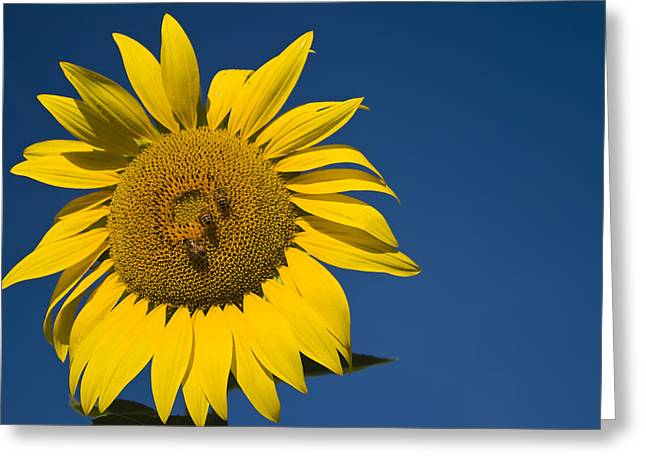 Three Bees And A Sunflower Greeting Card by Adam Romanowicz